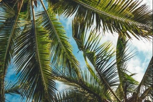 Palm leafes view Rialto